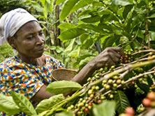 Violet Byamigisha, camperola de la comunitat de Katenga, recollint grans de cafè aràbica. (c) Pablo Tosco / Oxfam Intermón