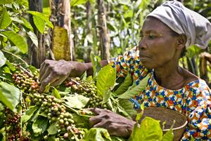 Violet Byamigisha, campesina de la comunidad de Katenga, recogiendo granos de café arábica. (c) Pablo Tosco / Oxfam Intermón